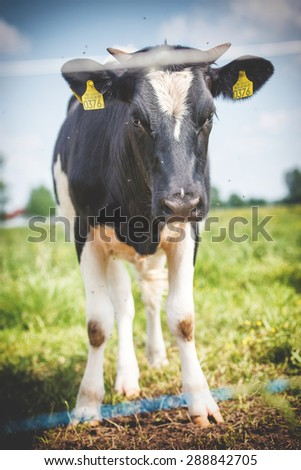 An image of cows graze on the green meadow - stock photo