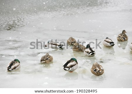An image of Duck in midwinter - stock photo