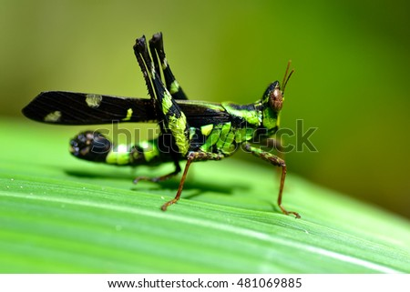 An Image of Grasshoppers . macro Grasshopper