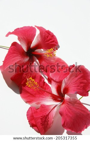 An Image of Hibiscus