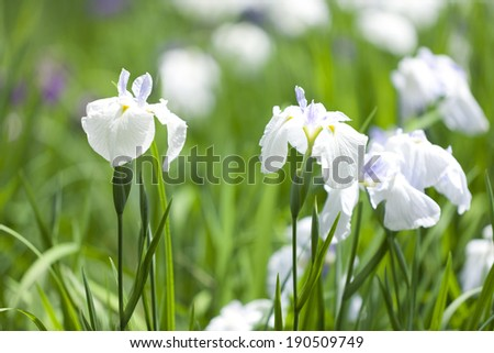 An image of Japanese iris