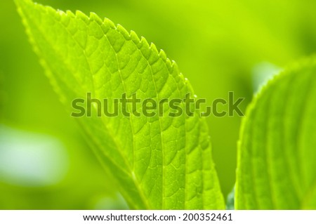 An Image of Leaf Of Hydrangea