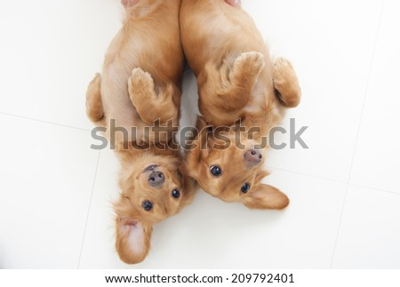 An Image of Miniature Dachshund Puppy - stock photo