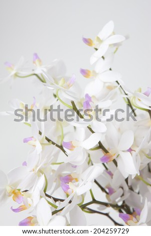 An Image of Phalaenopsis Orchid