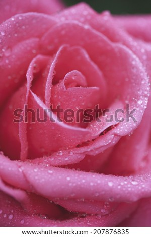 An Image of Pink Roses