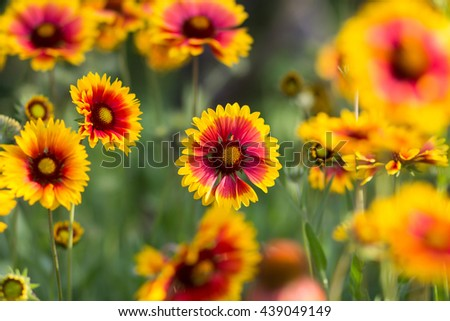 an image of red yellow flowers in a garden