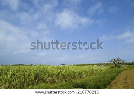 An Image of Sugarcane Field