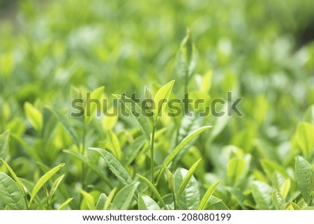 An Image of Tea Leaves