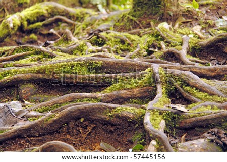 An image of the ancient roots of a rain tree. - stock photo