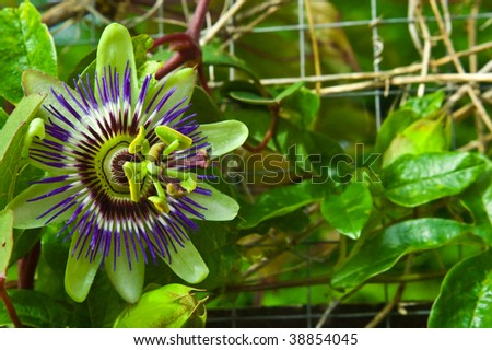 an image of the beautiful Passion flower in full bloom with blurred leaf background. - stock photo