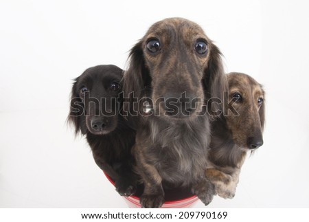 An Image of Three Miniature Dogs