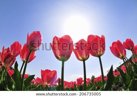 An Image of Tulip