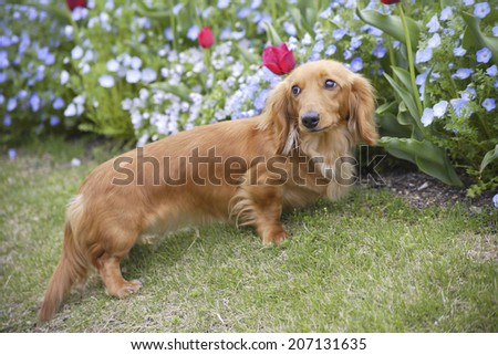An image of Walking Dachshund