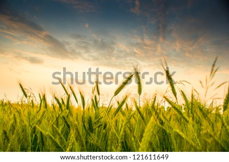 An image of wheat corn - stock photo