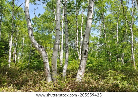 An Image of White Birch