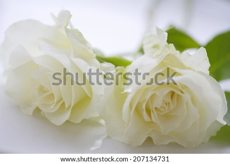 An image of White Rose
