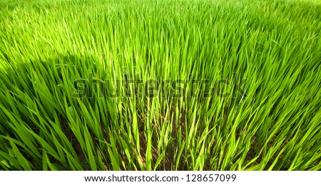 An image of young rice plants - stock photo