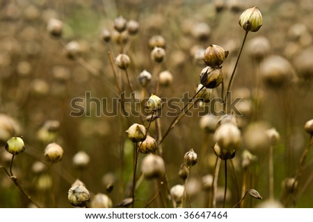 an image showing close ups of a ruined rotting flax crop used in the production of linseed oil, the image has intentional shallow depth of field. - stock photo