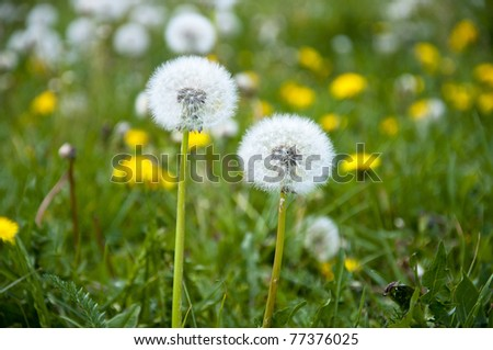 An images of dandelion flower at the meadow - stock photo