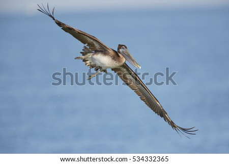 An immature Brown Pelican (Pelecanus occidentalis) banks in flight as it prepares to dive for a fish in the Gulf of Mexico - St. Petersburg, Florida