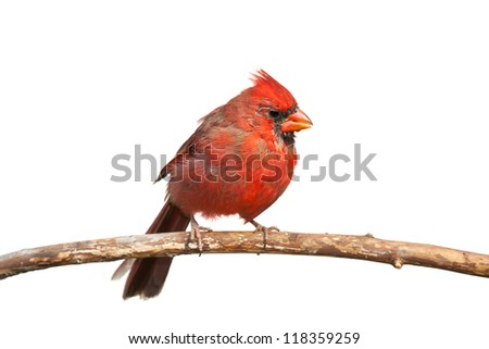 An immature cardinal slowly molts its feathers from brown to red, perched on a branch, white background - stock photo
