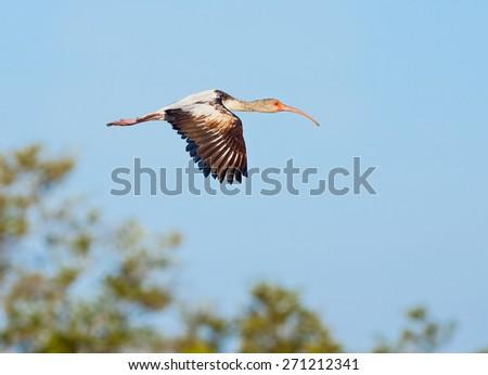 An immature juvenile American white ibis flies over JN Ding Darling National Wildlife Refuge on Florida's Sanibel Island. - stock photo