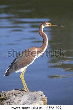 An Immature Tricolored Heron on a Rock at the Lakes Edge - stock photo