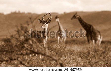 An impala antelope with 2 giraffe in the background. - stock photo
