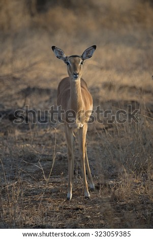 An Impala Baby stands in the late afternoon shadows - stock photo