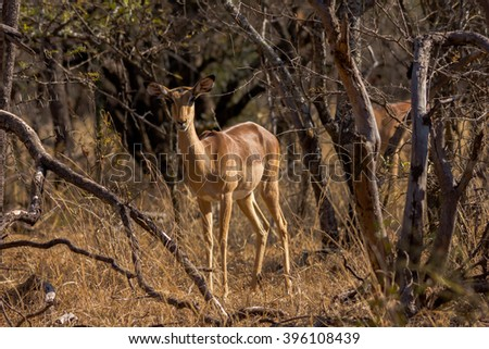 An impala in a South African game reserve.