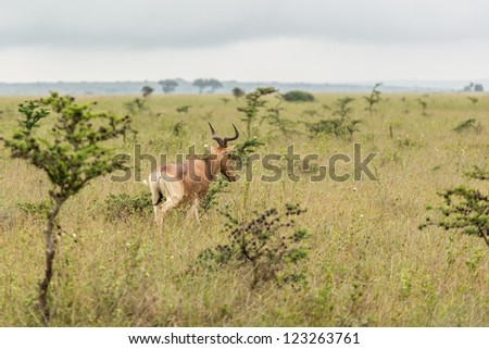 An impala in the grasslands of the Nairobi National Park - stock photo
