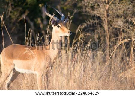 An Impala ram standing in tall grass - stock photo