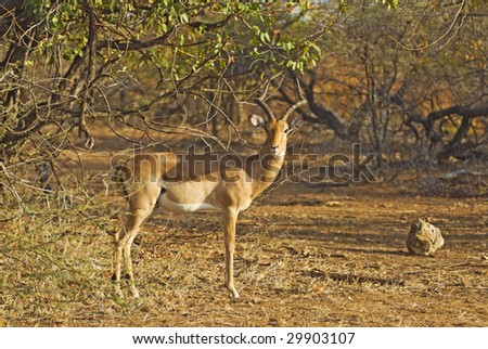 An Impala Ram stands in the morning sun