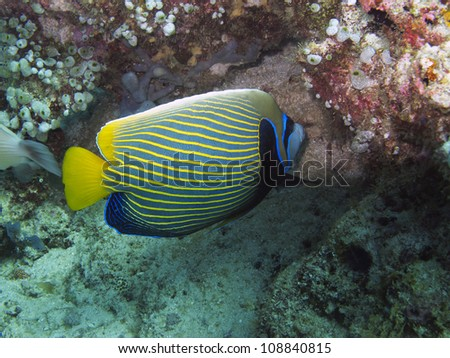 an Imperial Angelfish (Pomacanthus imperator) looks for food amongst rocks on the ocean floor.