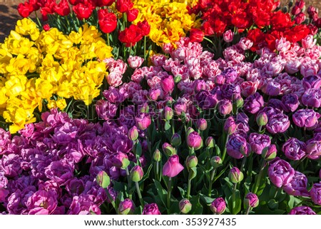 An impressive display of springtime tulip flowers in the morning sunshine at a family farm in Oregon. - stock photo
