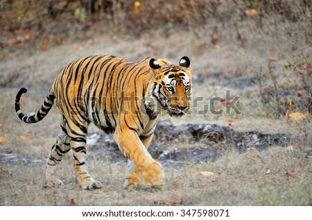 An Indian tiger in the wild. Royal Bengal tiger ( Panthera tigris ) in national park of India - stock photo