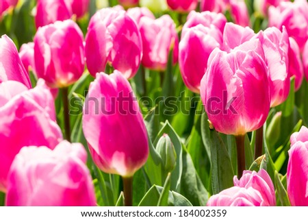 An individual unopened pink tulip in a tulip field. Selective focus with focus on an individual long stemmed tulip - stock photo