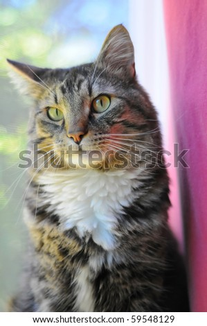 An indoor Maine Coon kitty cat sitting on the window cell staring at the camera. - stock photo