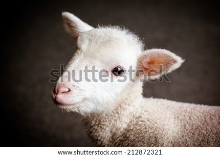An inquisitive baby lamb in Victoria, Australia - stock photo