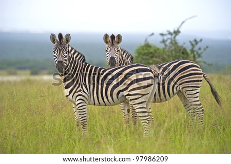 An inquisitive Zebra Couple stare at the photographer - stock photo
