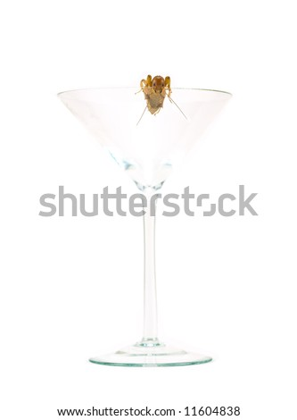 An insect, a Jerusalem Cricket, in a Martini Glass - stock photo