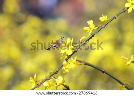 An insect  is gathering  honey in jasminum nudiflorum blossoms - stock photo