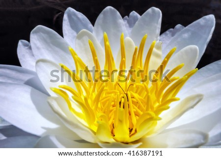 An insect writhes through the anthers of a white water lily (Nymphaea odorata) flower. - stock photo