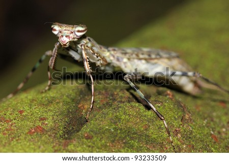 An interesting Flower Mantis in the Peruvian Amazon - stock photo