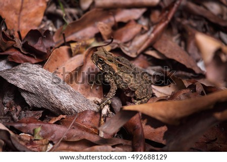 An invasive Cane Toad in northern Australia.