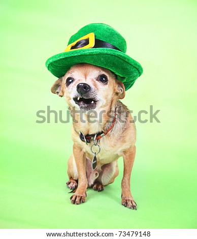 An Irish looking chihuahua - stock photo