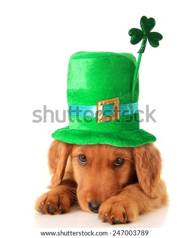 An Irish setter puppy wearing a Saint Patrick day hat.  - stock photo
