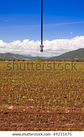 An irrigation sprinkler above a field of corn sprouts