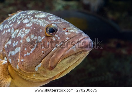 An isolated an black colorful grouper  - stock photo