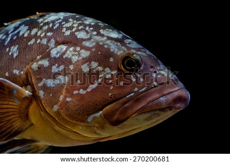 An isolated an black colorful grouper
